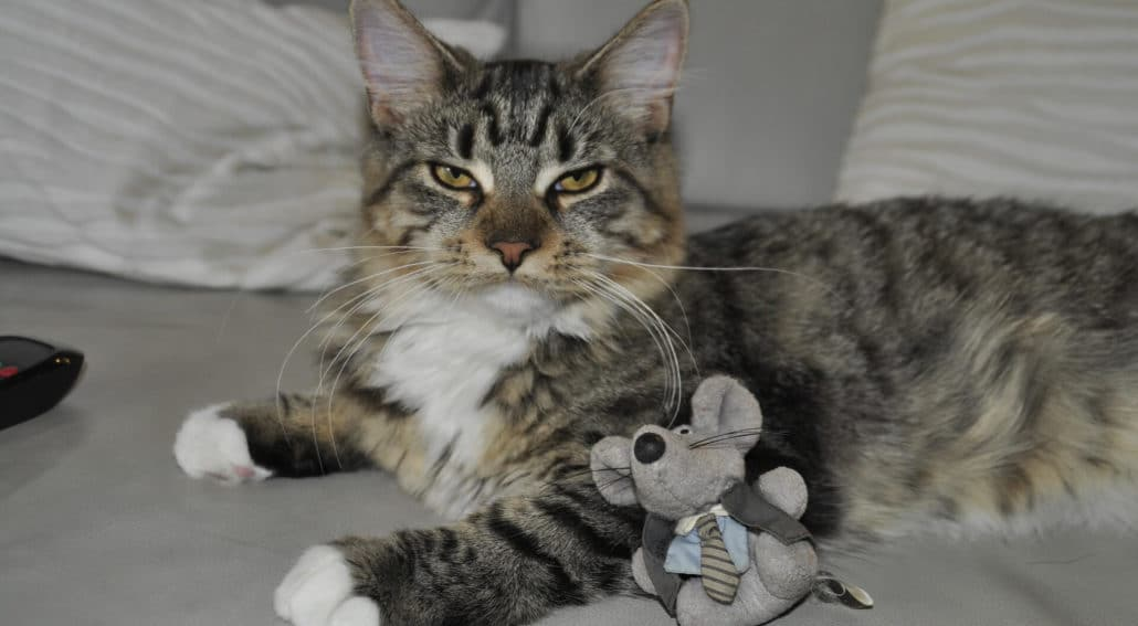 cat-with-his-toy