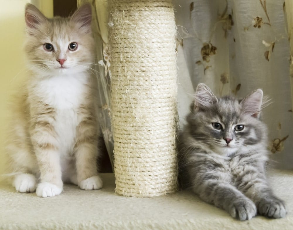 cats-laying-next-to-their-scratching-post