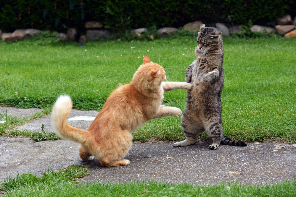 bigger cat bullying another cat