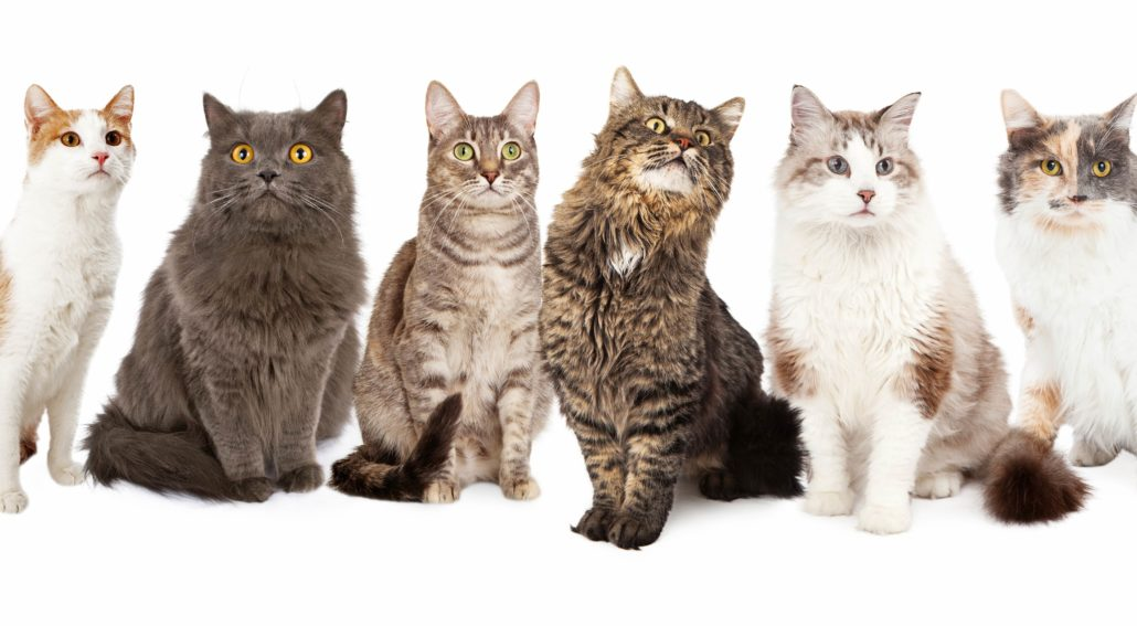 different cat breeds