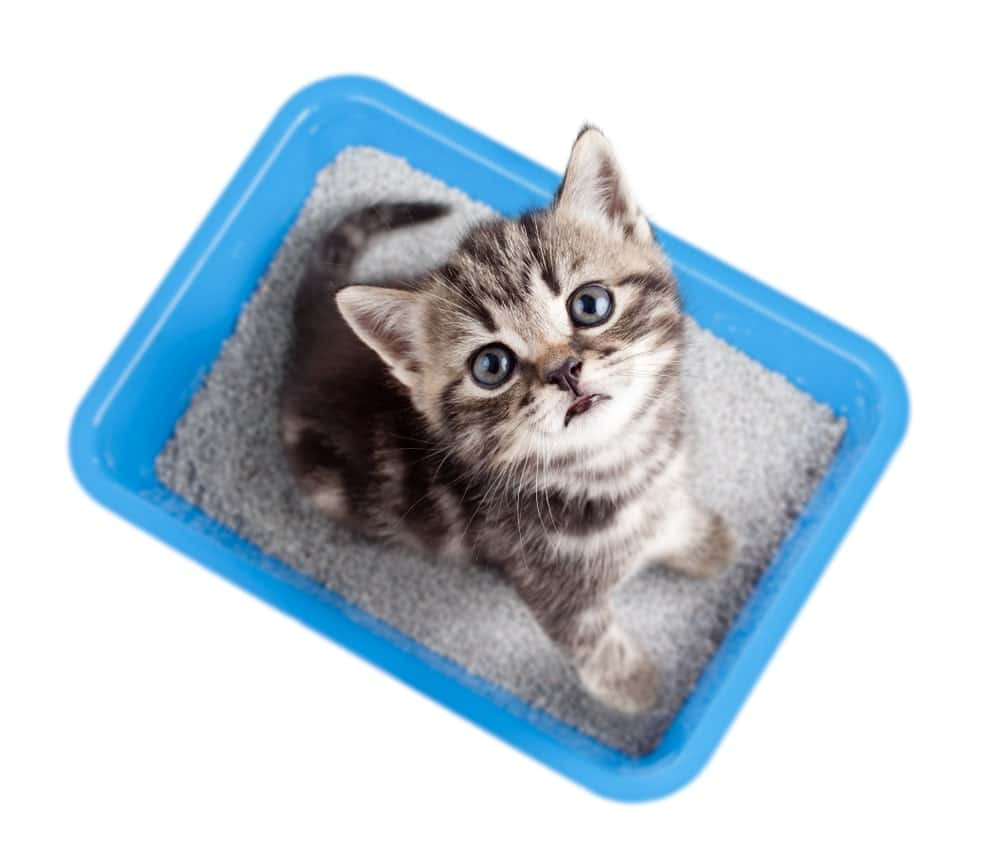 kitten sitting in her litter box