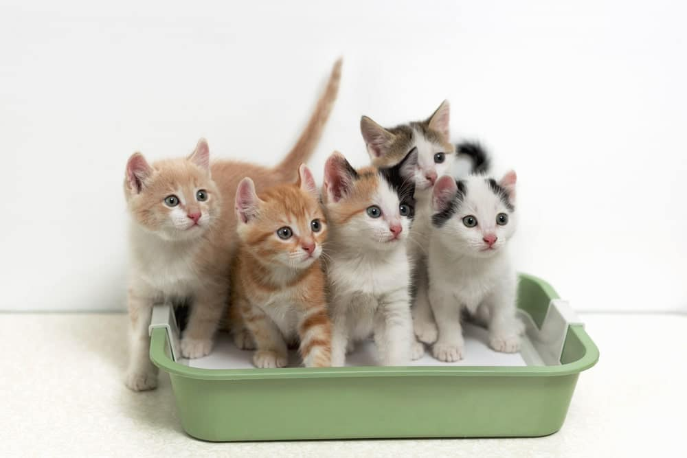 kittens using the litter box