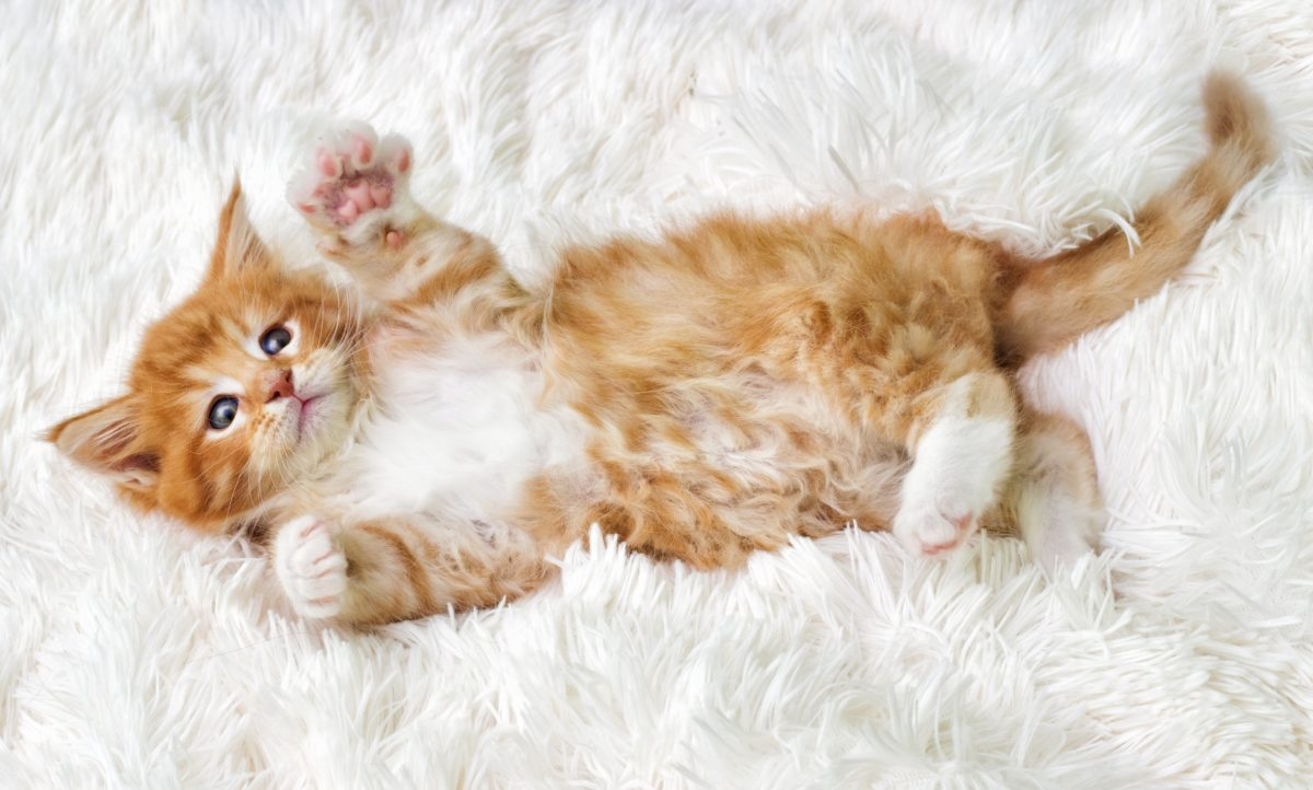 Delicieux Maine Coon Cat Laying On The Carpet