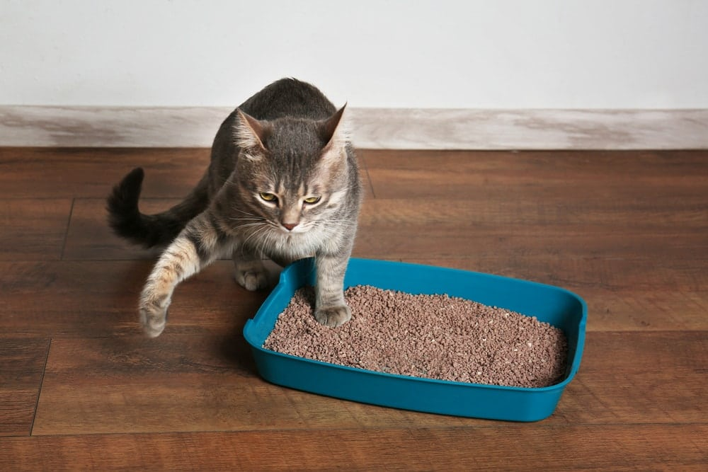 cat getting out of his litter box