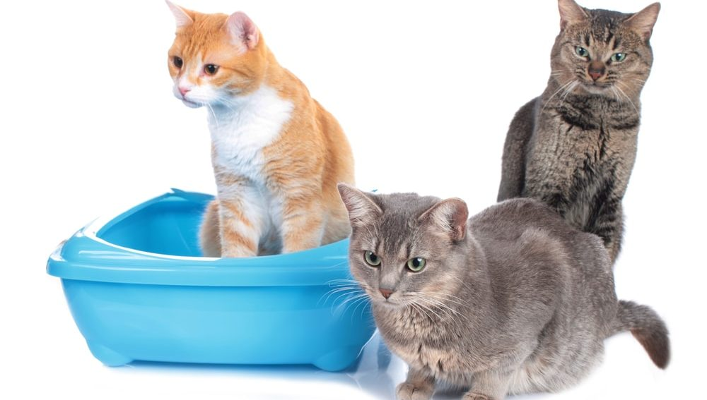 multiple cats in the litter box