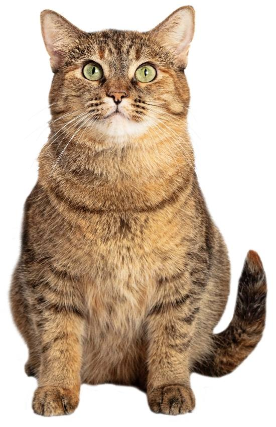 brown-ticked-tabby-picture