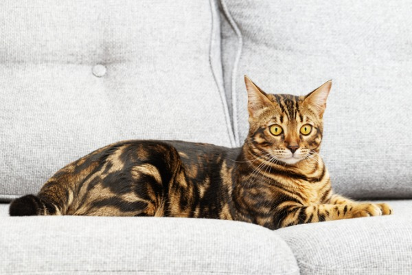 classic-tabby-pattern-picture