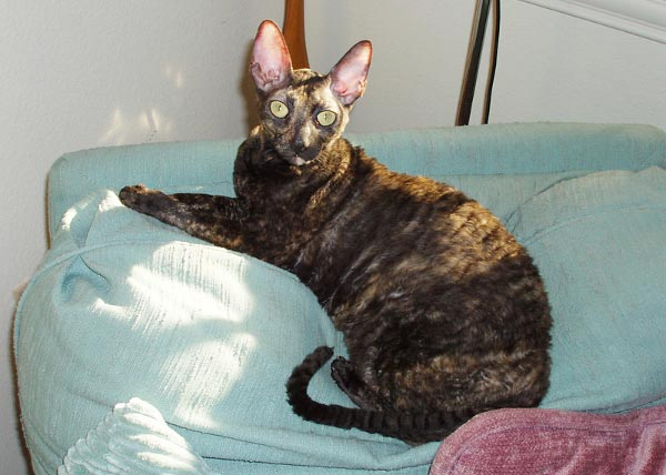 cornish-rex-tortie