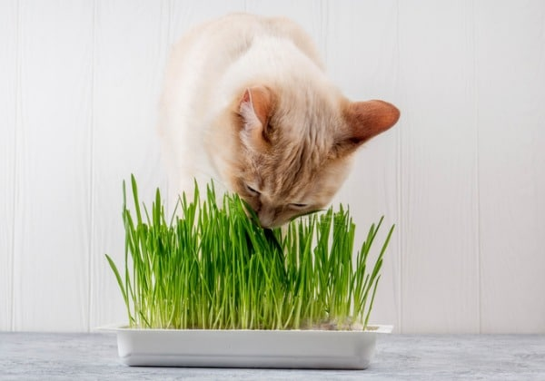 eating-grass-to-control-hairball-heaving
