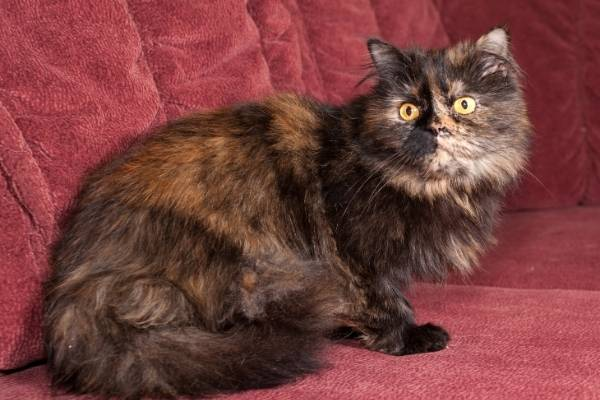 fluffy-tortie-example