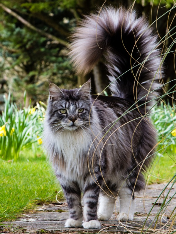 grey-and-white-tabby-maine-coon