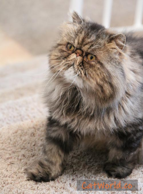 persian-tabby-picture