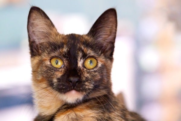shorthair-tortoiseshell-cat-example