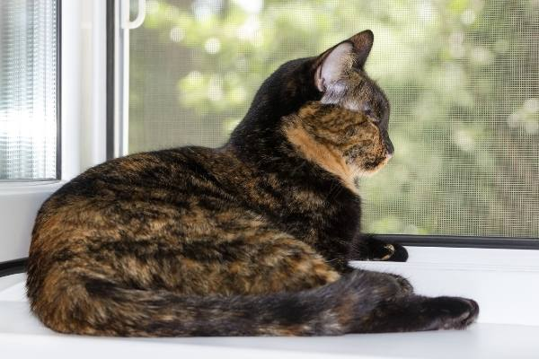 tortoiseshell-coloring-on-cat